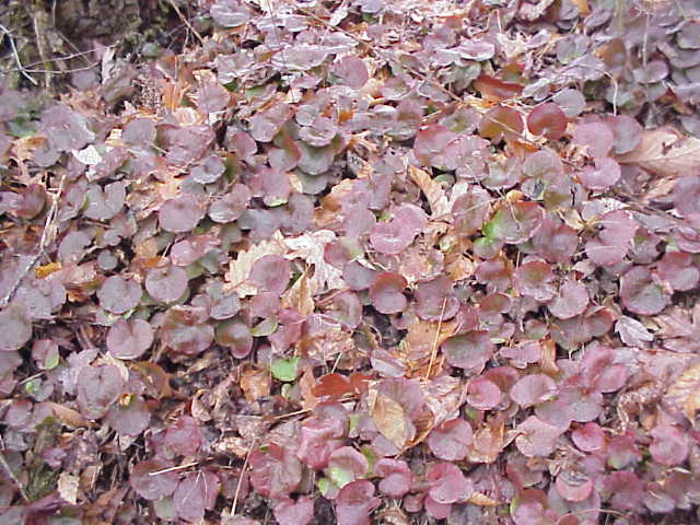 reddish bronze leaves