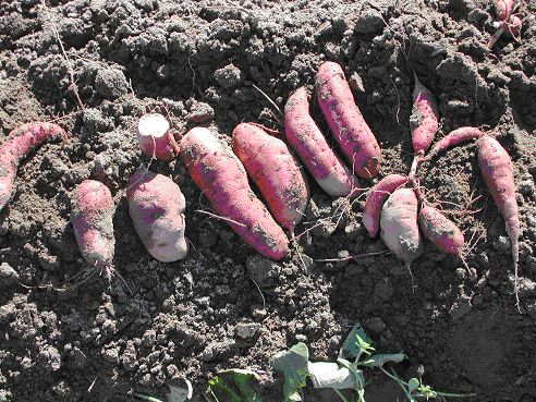 just harvested 'Japanese' sweet potatoes