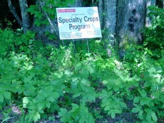 Goldenseal bed with Specialty Crops Program sign
