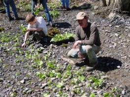 Planting wasabi
