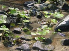 Healthy plants in slow-moving water