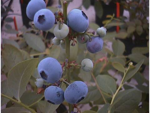 blueberries at different stages of ripeness