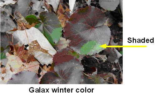winter color of Galax