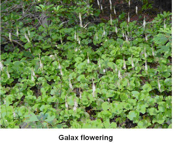Galax flowering