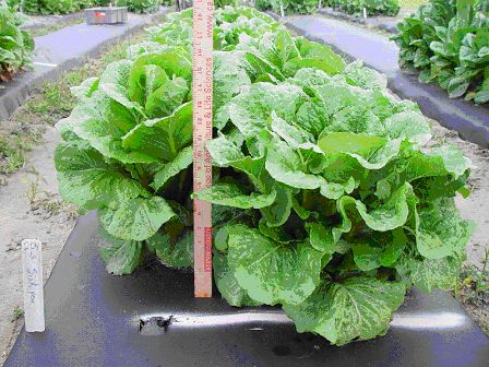 row of siskiyou lettuce