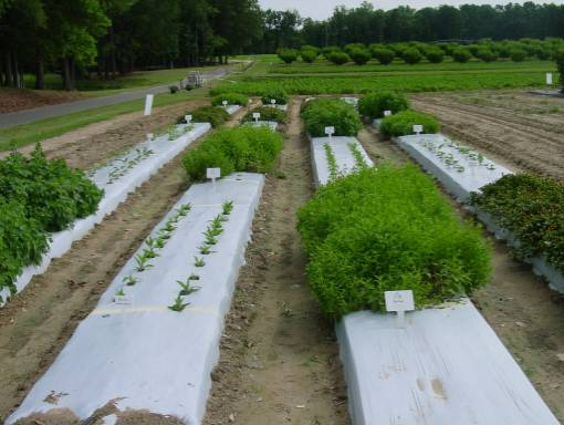 research plots with medicinal herbs planted under mulch