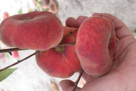 White fleshed NC peaches