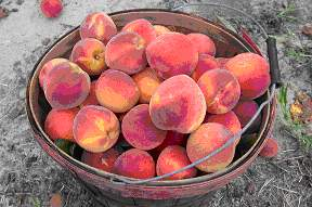 basket of Yellow fleshed NC peaches