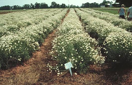 rows of Pyrethrum in full bloom