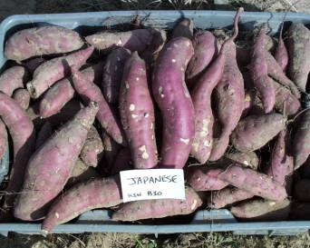 harvested 'Japanese' sweetpotatoes