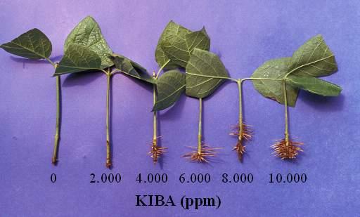 Effect of KIBA on 'Venus' Sweetshrub root growth