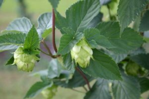 Cover photo for Seeking Some Feedback About Our NC Hops Program, Please!