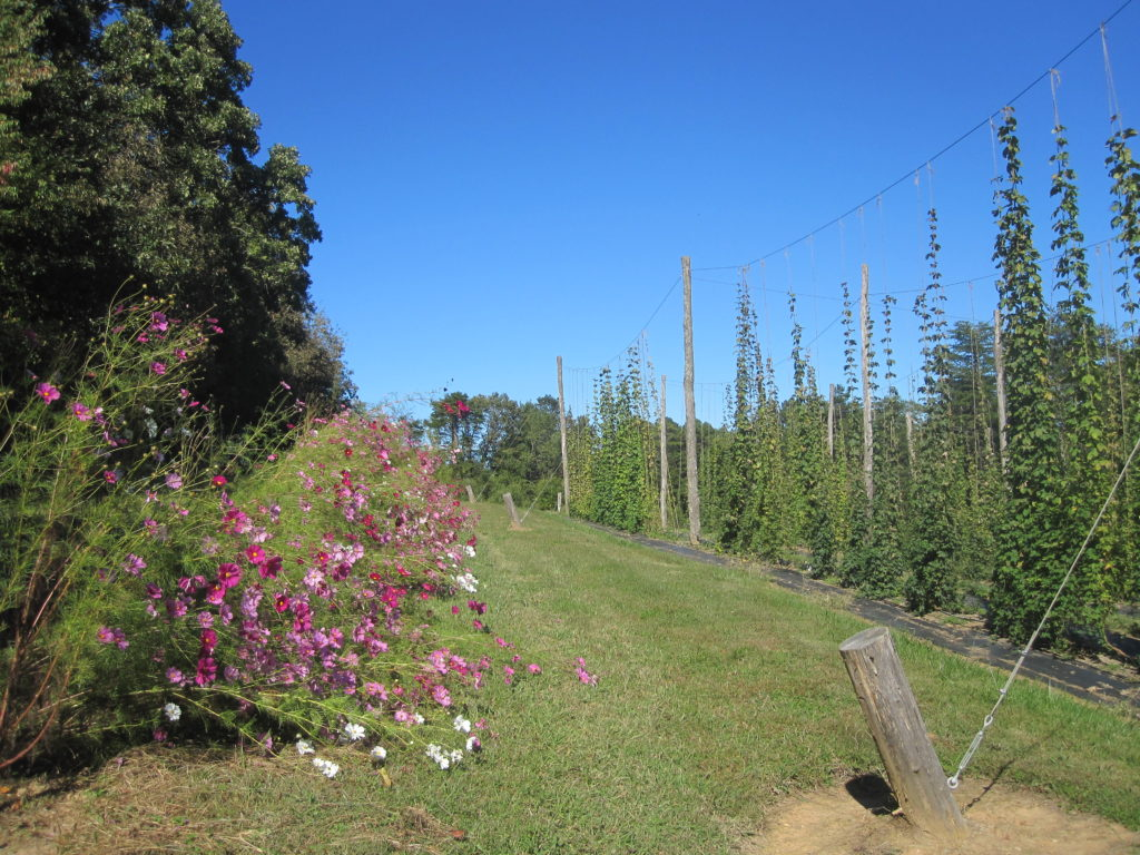 Rows of farmscaping flowers around the hop yard to increase diversity.