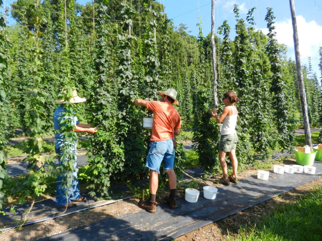 Harvesting hop cones
