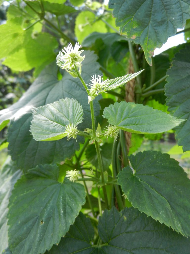 The burrs are the young hop flowers that develop into the hop cones that will be harvested in late summer and early fall.