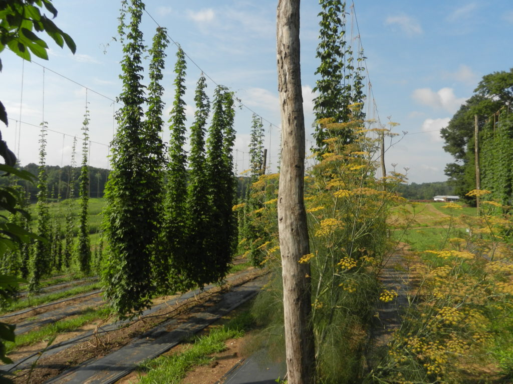 July hop yard with fennel flowers to attract beneficial insects.