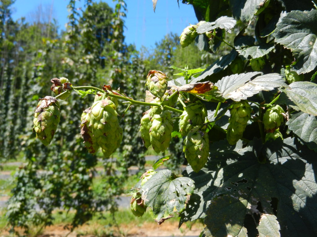 Hop cones on side arms.