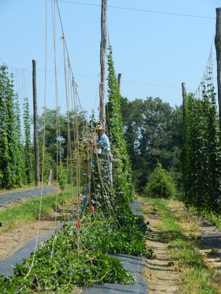 Harvesting cones in August.