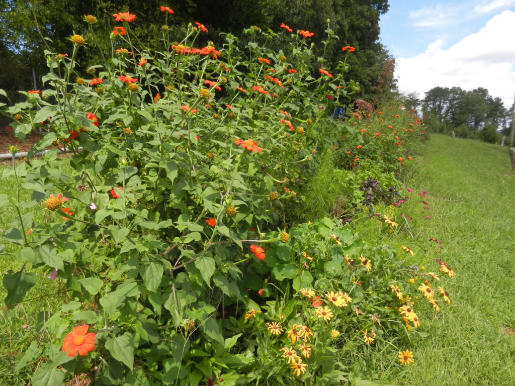 Farmscaping: flowers planted around the hop yard to increase habitat for predatory insects that feed on hop pests.
