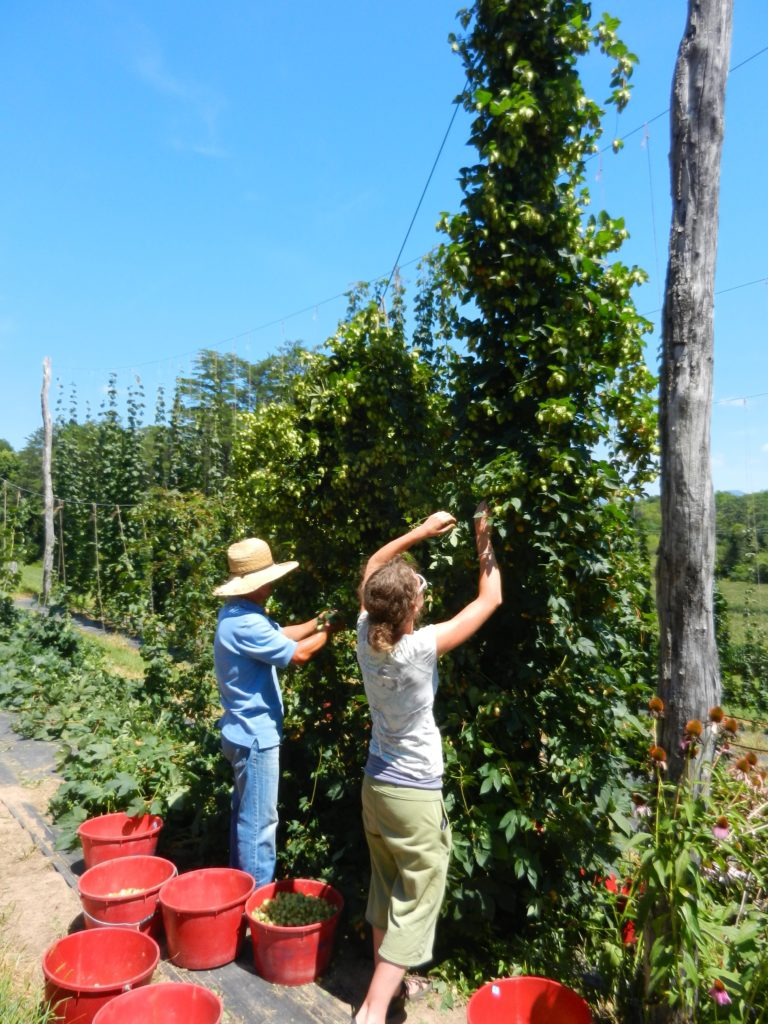 Our crew harvesting the variety Canadian Red Vine in late August.