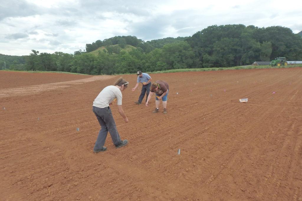 Three people hand seeding industrial hemp.