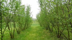 filbert truffle orchards in April