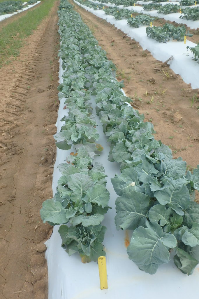 summer broccoli planting in plastic mulch covered rows