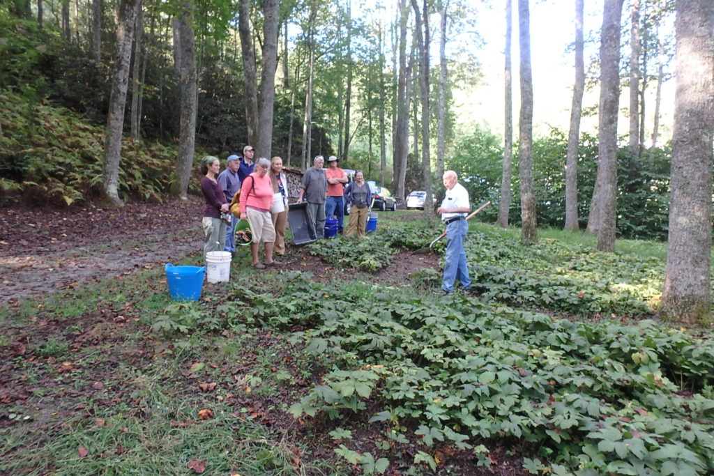 forest farmers preparing to dig goldenseal to transplant to their own farms