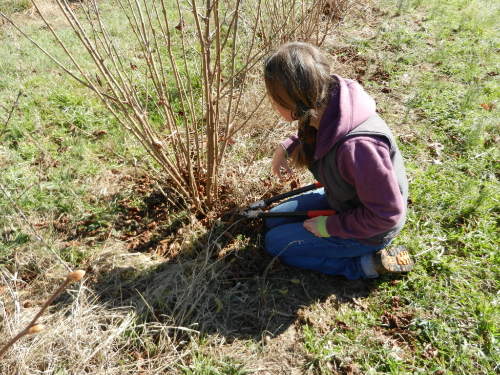 Pruning a filbert tree