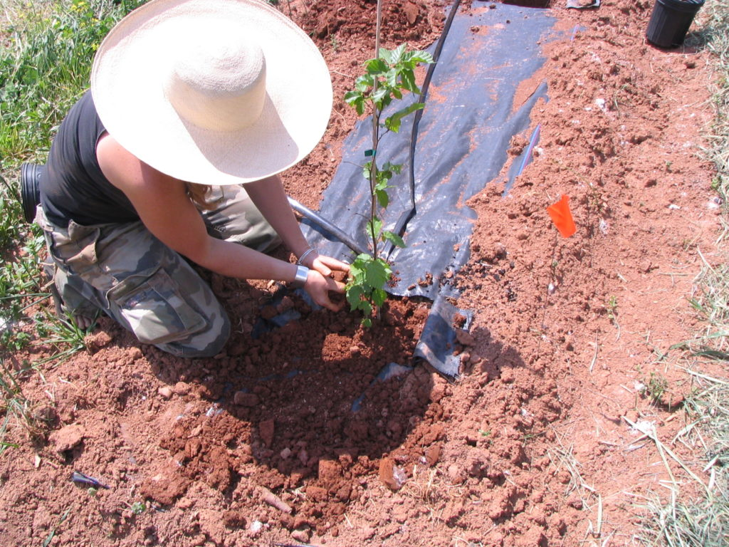 Planting filberts inoculated with truffles