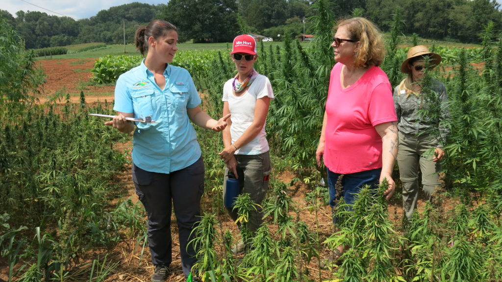 researchers working in a hemp field