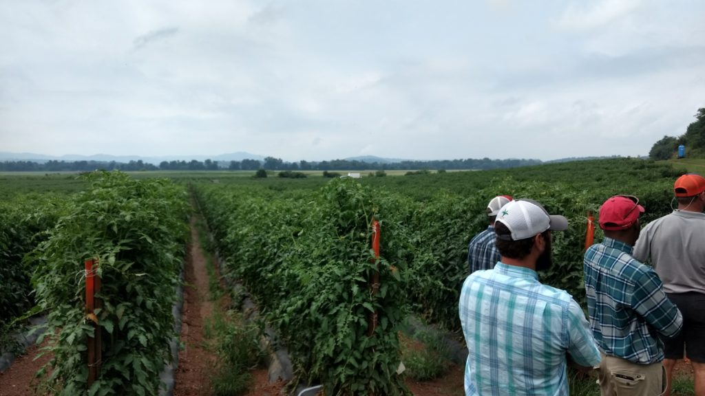 participants outside staked tomato field
