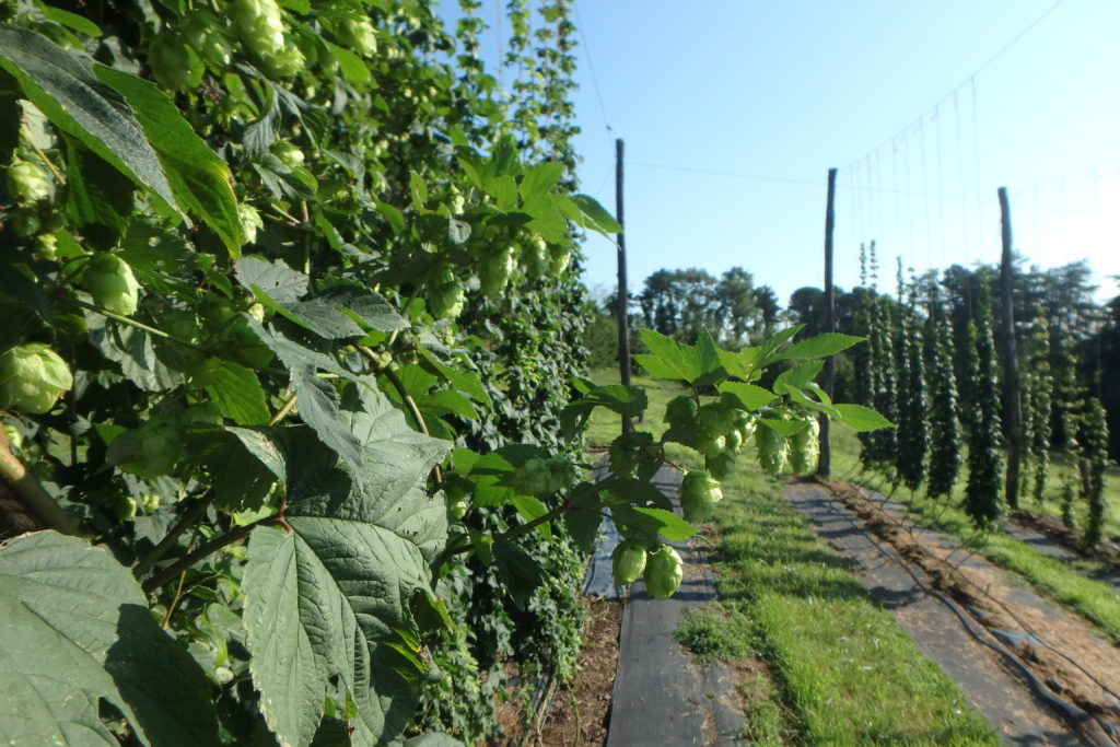 Hops growing in the variety trial in Mills River.