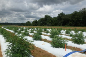 Industrial hemp variety trial