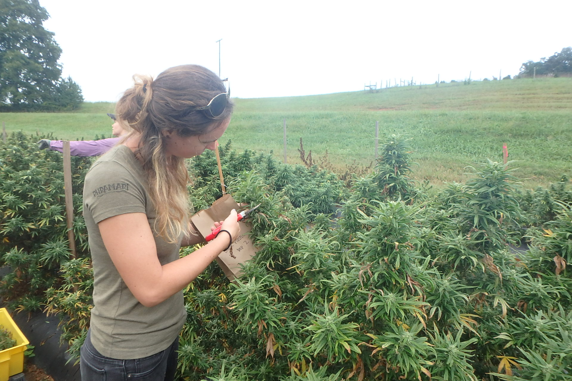 Harvesting floral parts of hemp plants
