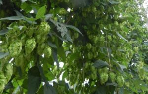 close up of some hop cones