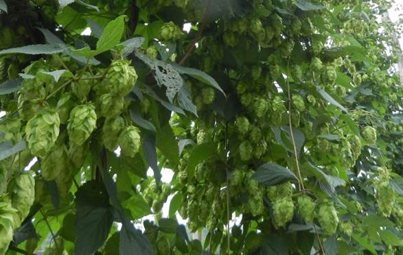 beautiful clusters of NC hop cones