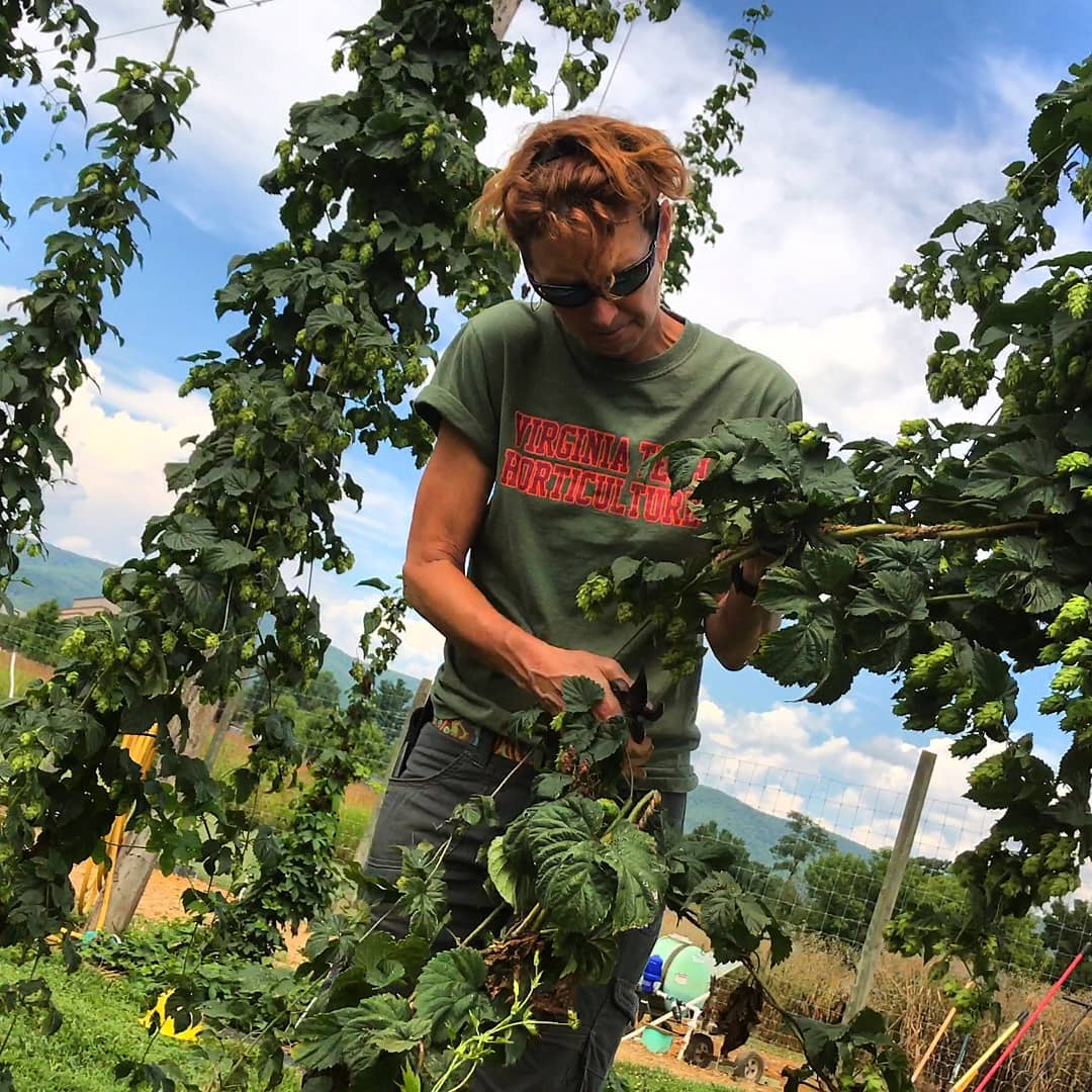 Holly Scoggins checking her research hops (Photo borrowed from Virginia Tech Magazine).