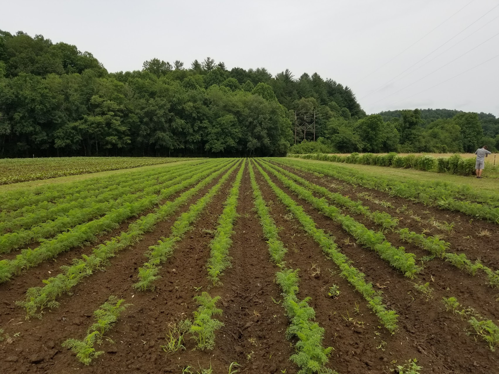 organic carrots in field