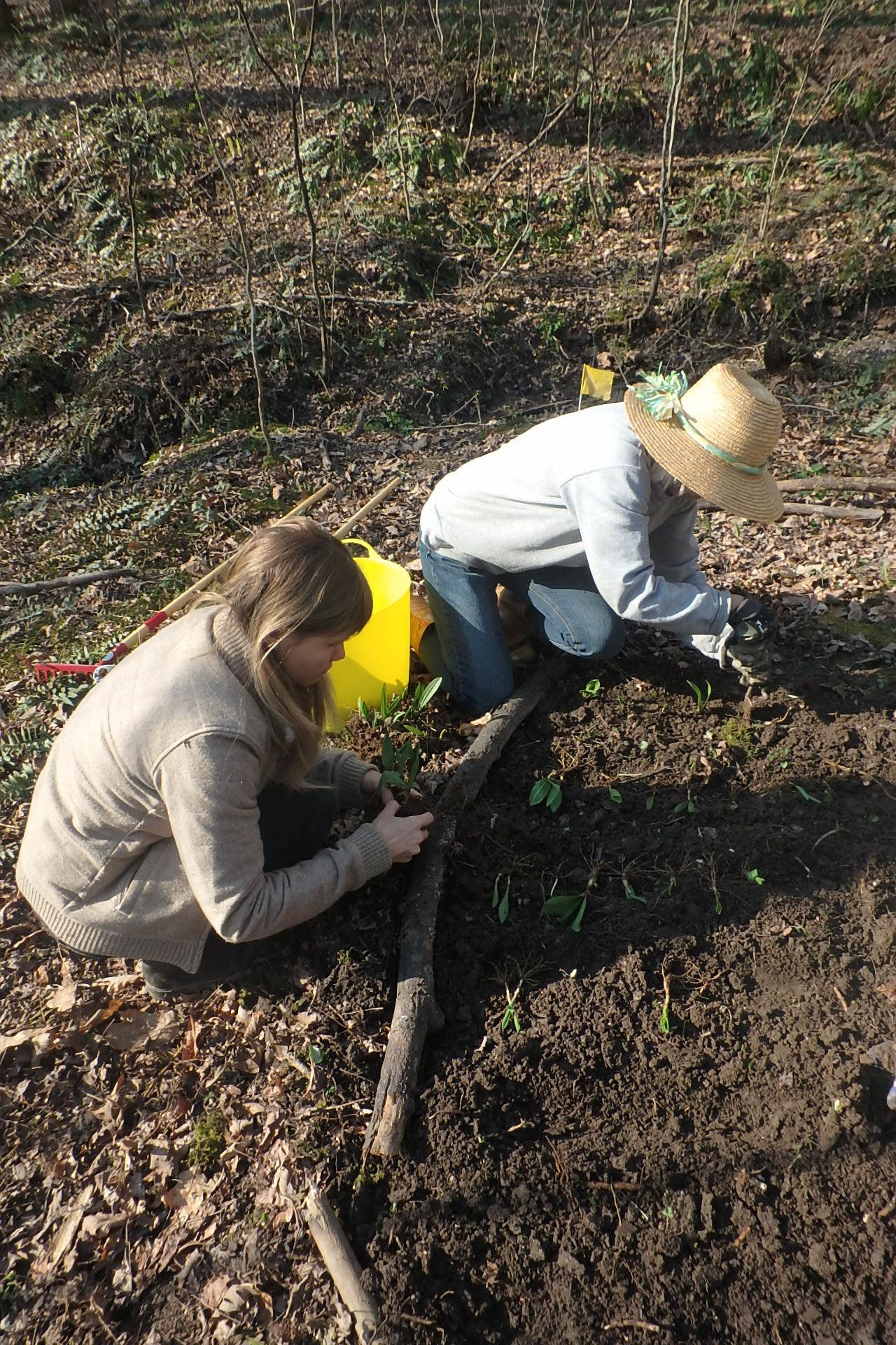 Two women planting ramps in the woods