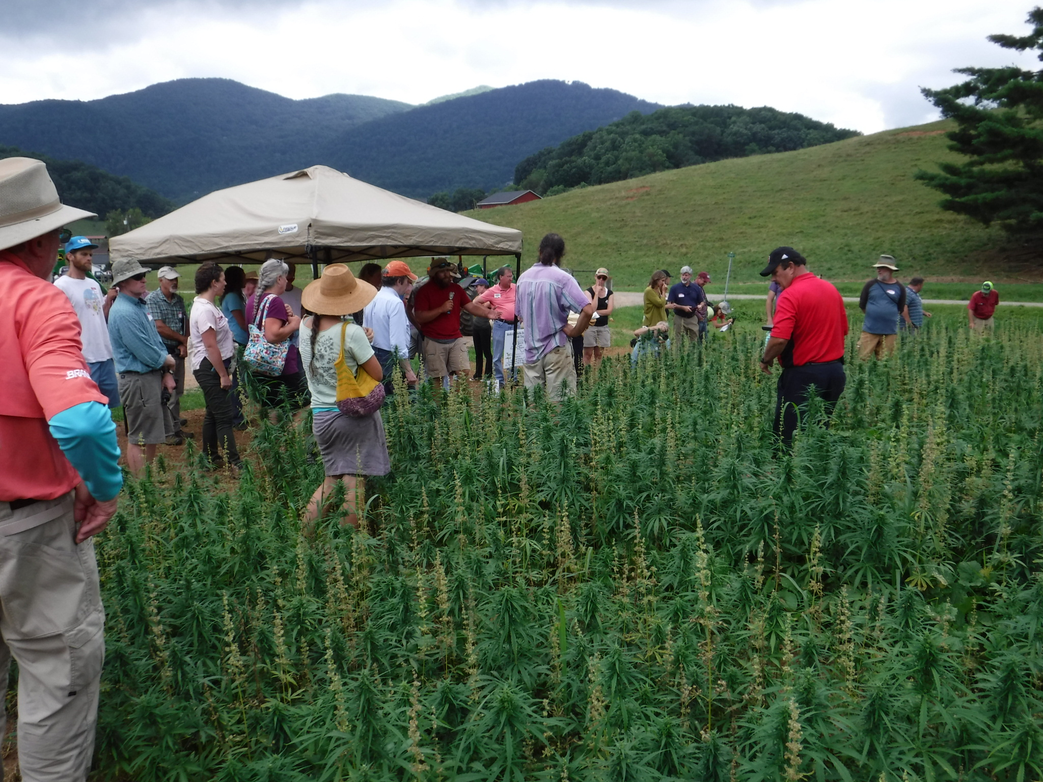 People walking through hemp grain trials