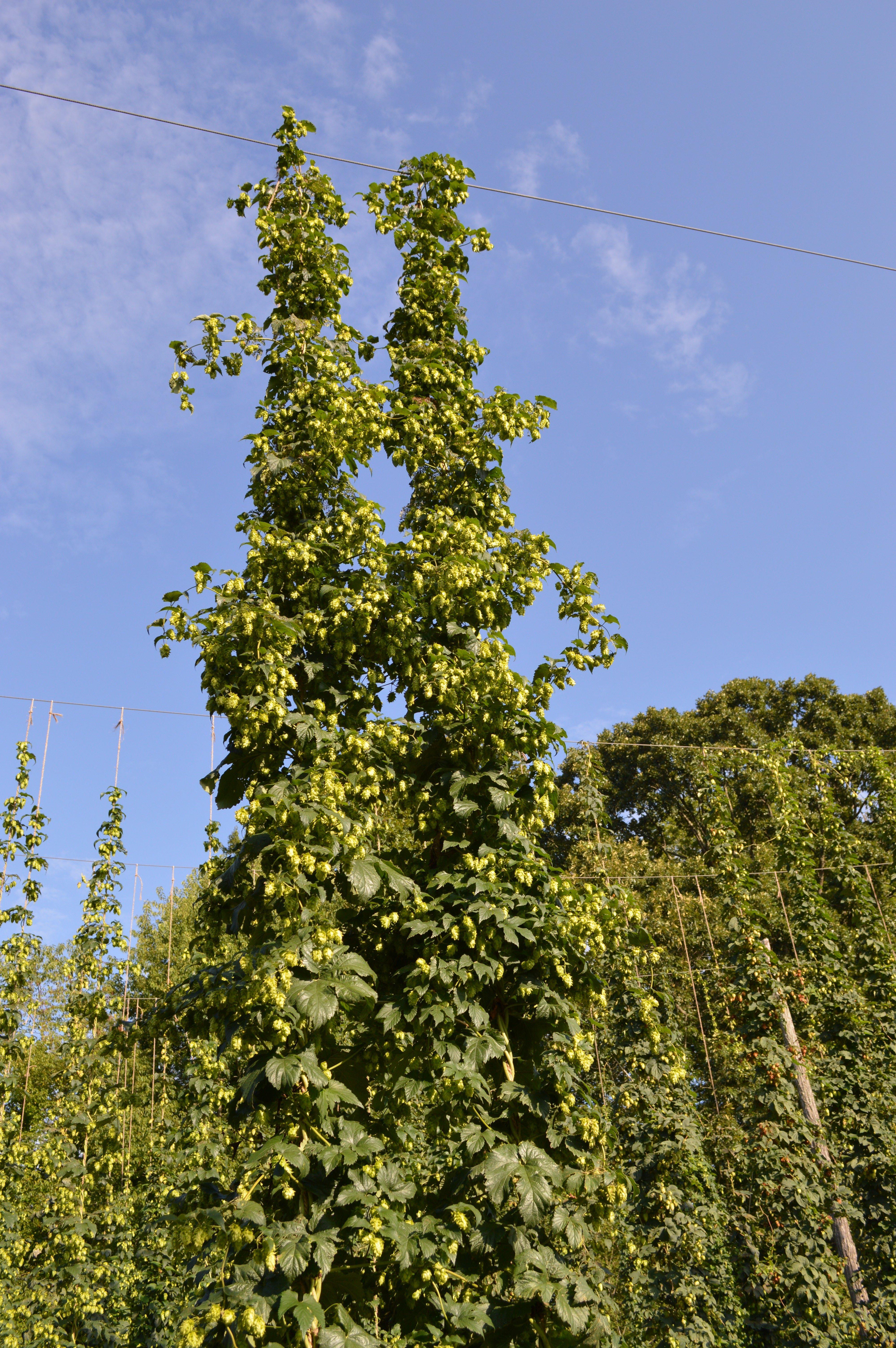 hop plant NC1601