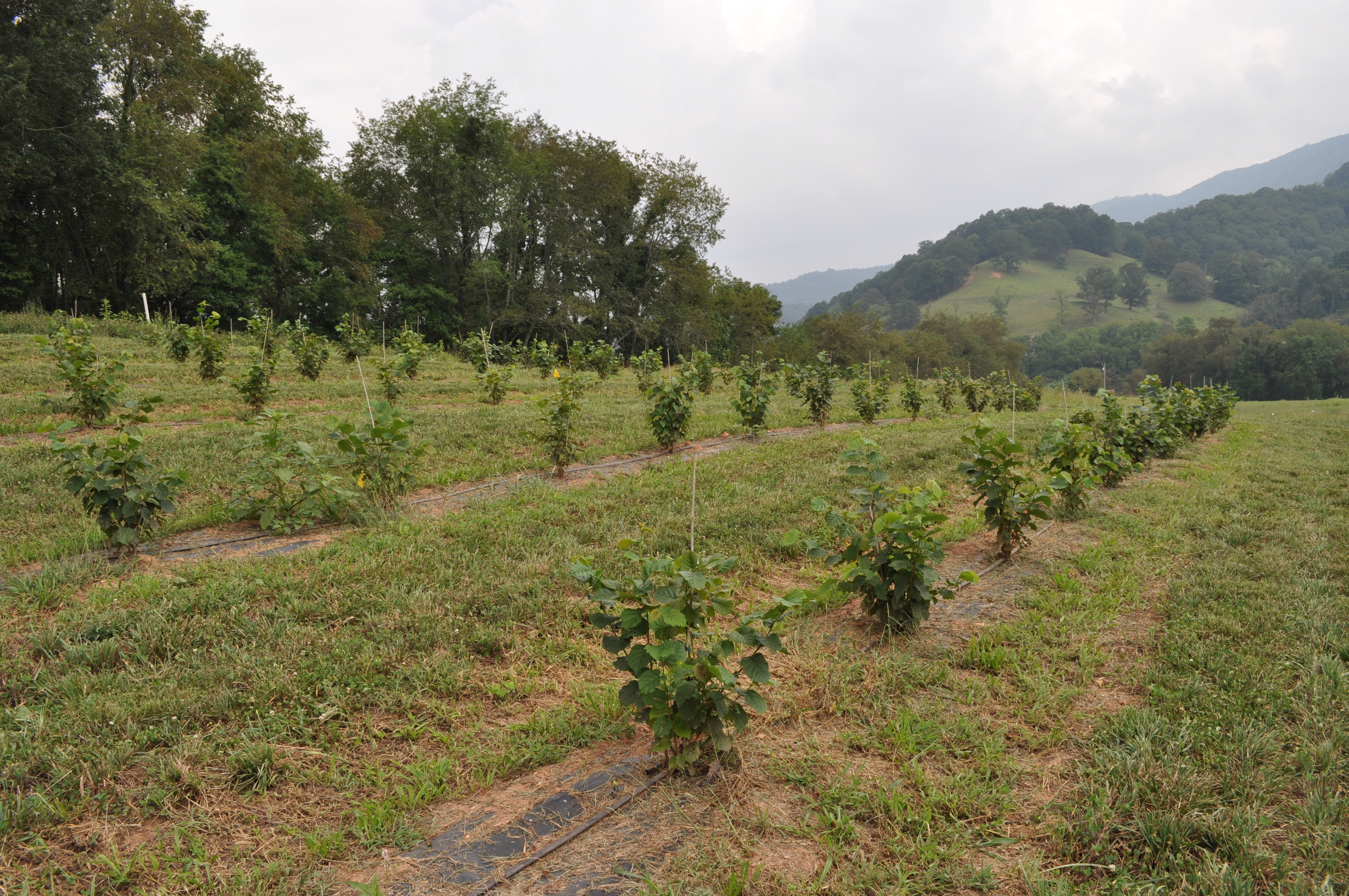 young truffle orchard