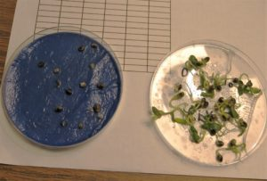 hemp seed in petri dishes; ungerminated and germinated