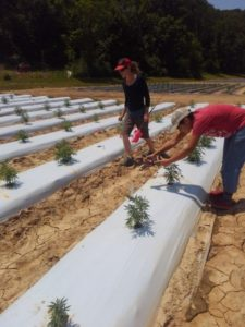 young hemp plants growing on white plastic and two workers