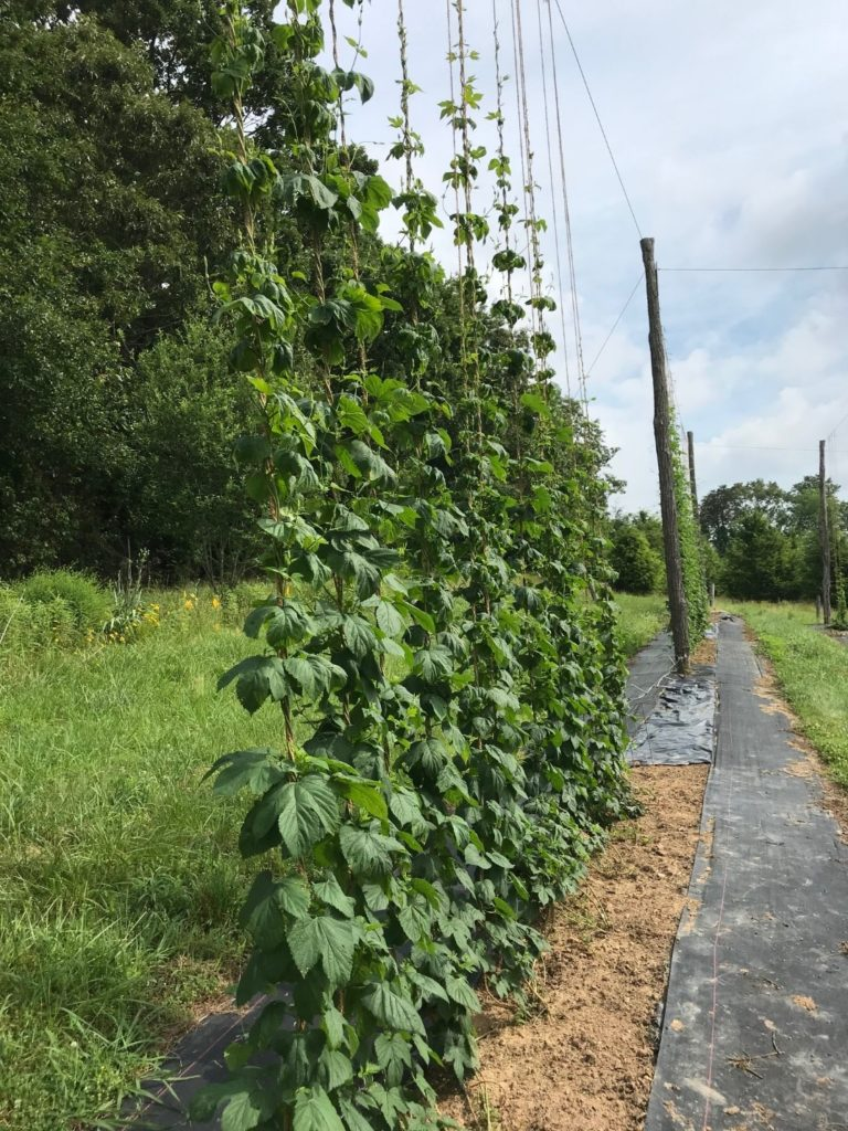 Young hops in breeding program growing on trellis