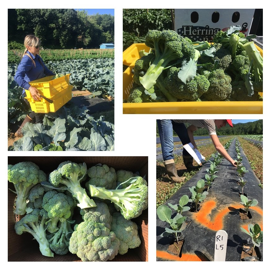 2019 on-farm broccoli yield trials