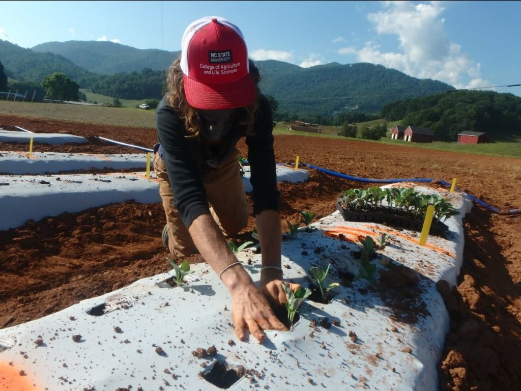 woman planting broccoli transplant in field