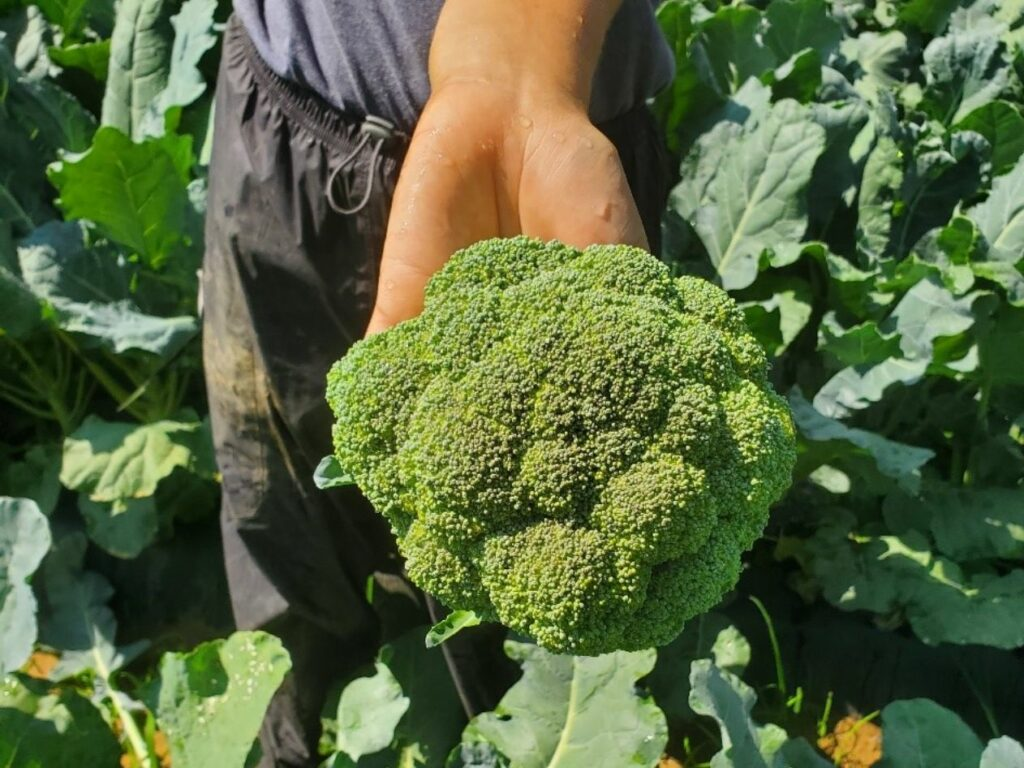 broccoli head in a hand