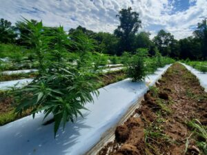 young hemp plants growing on raised beds covered with white plastic mulch